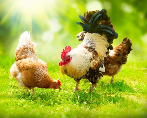 Poules élevées en plein air