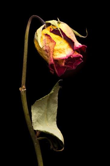 Rose fânée