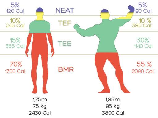 Répartition du métabolisme