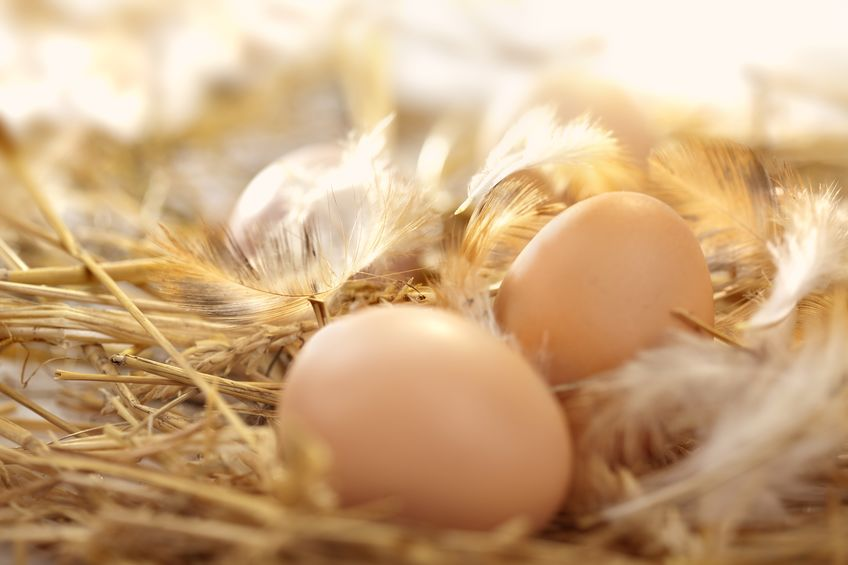 Oeufs frais dans un nid