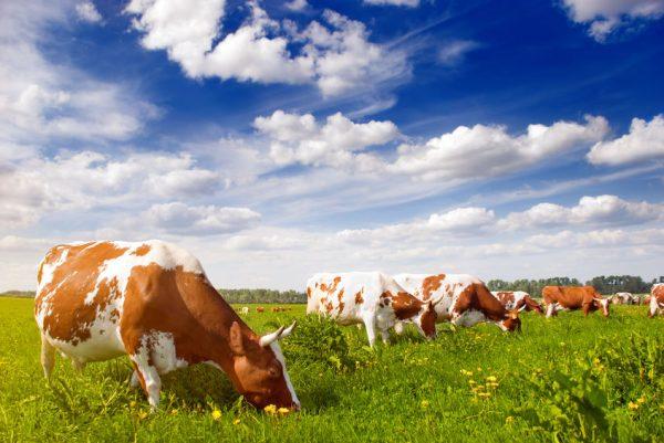 Vaches élevées en pâturage