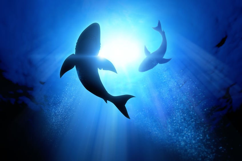 Grands requins blancs