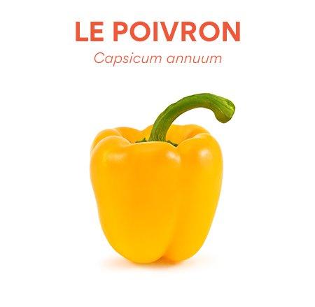 Le poivron